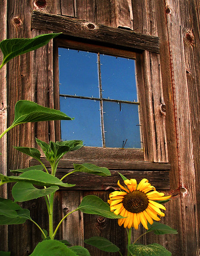 Sunflower gracing old barn window by cooler than h2o