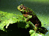frog pose (jobarracuda) Tags: lumix pond frog palaka panasoniclumix kokak dmcfz50 anawesomeshot aplusphoto jobarracuda flickristasindioslamesaecopark fotocompetition fotocompetitionbronze fotocompetitionsilver