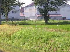 田圃で羽を休める鳥 (1)