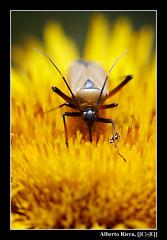Chinche naranja / Orange bug 2. (Alberto Riera, [[C|-|E]].) Tags: orange flower macro bug flor creepy naranja crawly arthropod insecto chinche artrópodo