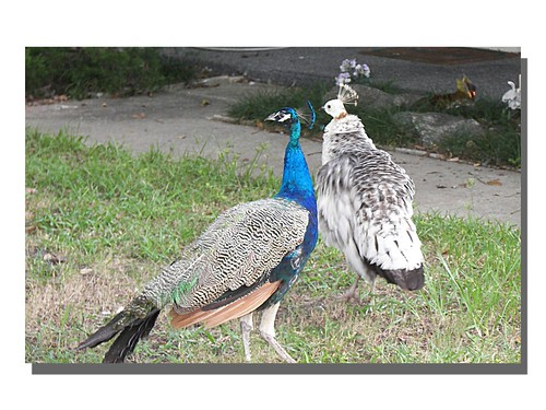 A Peacock and a Peahen