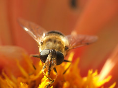 I know you're looking.... (mion.nl) Tags: bee hoverfly bzzz naturesfinest impressedbeauty aplusphoto copyrightmionnl whattheheckisatag mionnl