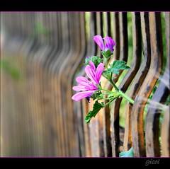 born free (gicol) Tags: pink flower verde green field fence focus bars dof purple flor rosa explore campo fiore viola frontpage fucsia depth puglia fuoco pdc lilla fg prospettiva apulia malva sbarre foggia naturesfinest ringhiera profondità bestofmywinners theauthorsclub