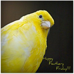 Happy Feathery Friday! (patries71) Tags: yellow canary geel nop hff birdrefuge kanarie featheryfriday rescuecenter oerle papegaaienopvang patries71 sonya550