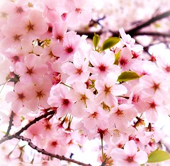 Gorgeous pink (Hopeisland) Tags: pink flowers trees plant flower macro tree nature japan cherry spring blossoms april sakura cherryblossoms colourful 2010 himejicastle       4