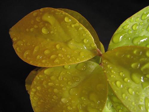 Orapronobis Amarela - Barbados yellow gooseberry - (Pereskia aculeata)