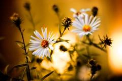 daisy-dusk (f-zimba) Tags: flowers light flower nature yellow closeup night lights saturated flickr fabio daisy zimbalatti
