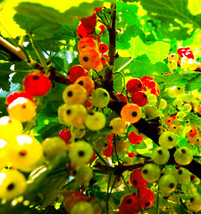 Summer is coming! (justfordream) Tags: red summer green rot nature colours sommer natur cranberries grn globalvillage farben preiselbeeren cowberries globalcity colorphotoaward invitedphotosonly gvadminshalloffame itsabeautifulgv