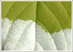 (sskkss) Tags: white green texture colors june finland pattern 2007 kirkkonummi nikond200 i500 actinidiakolomikta abigfave micronikkorvr105mm interestingness47on10june07