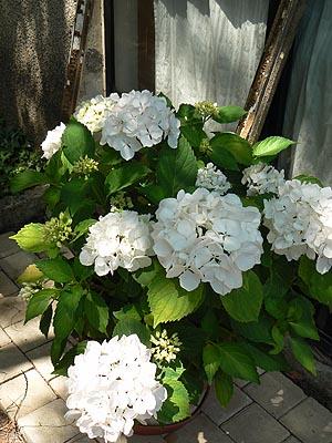 hortensia blanc.jpg