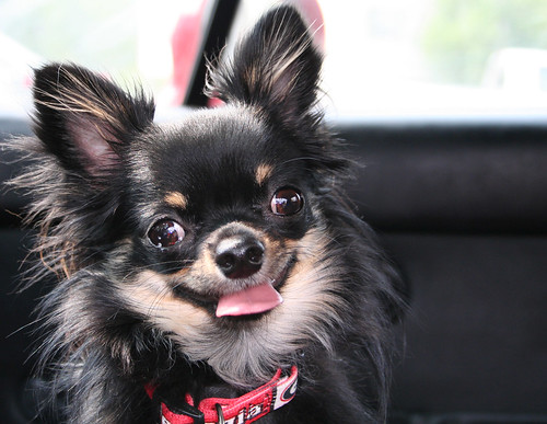 long haired chihuahua pictures. long haired chihuahua photos.