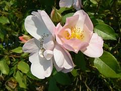 glantine (photos saintaises) Tags: roses panasonic naturesfinest glantine fz7 pinkalicious