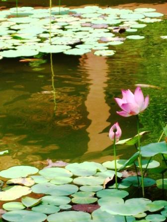 Peaceful Lotus Pond
