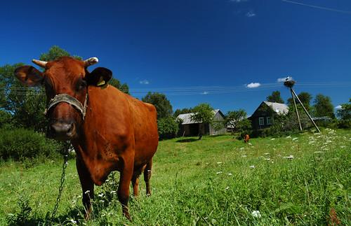 Latvian Cow