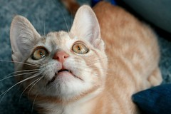 Crazy Pupils (Elkay 724) Tags: pet cats pets cute beautiful cat catwomen ginger kitten feline tabby cream kitty gato kitties buff meow creamsicle bufftabby buffcoloredcats