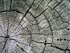 radial (2punys) Tags: de grey gris punto madera tronco fuga laberinto concepto grietas monocolor agujeros