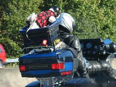 biker terrier
