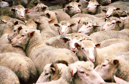 the american sheep industry