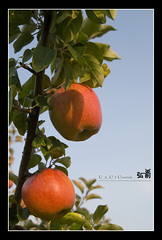 200810_hirosaki_066_f_s (C_C_C) Tags: red apple japan hirosaki