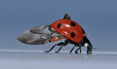 Lady Bug: Speading her wings (mbaglole) Tags: macro lady bug photography nikon tubes micro ladybug extension nikkor f28 afs dg 36mm 105mm kenko macrolife