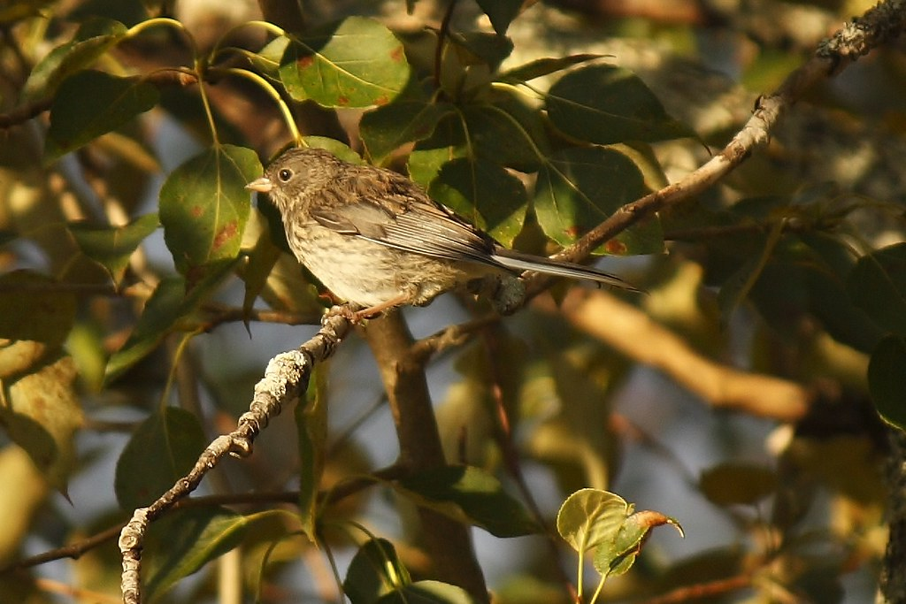Unidentified Sparrow (11)