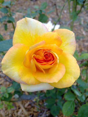 Heading up the rose walk toward Imagination