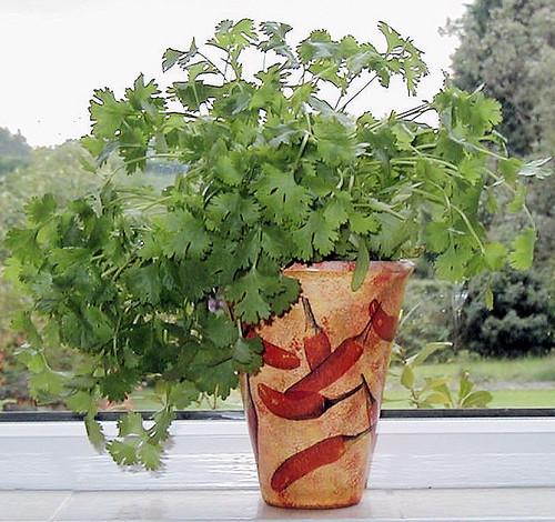 pot coriander