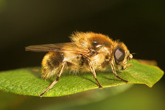 """Hoverfly Unsure on the model though ) • <a style=""""font-size:0.8em;"""" href=""""http://www.flickr.com/photos/57024565@N00/536335217/"""" target=""""_blank"""">View on Flickr</a>"""