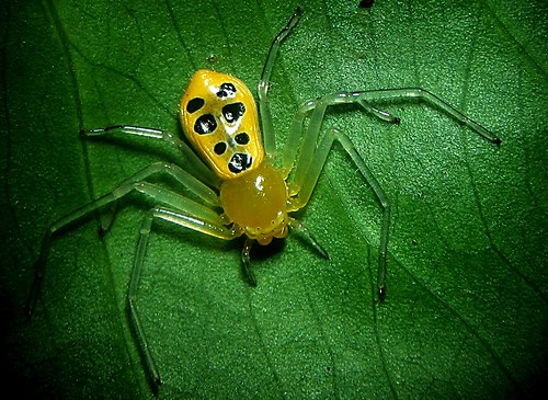 Rare Philippine Crab Spider [Cool-looking, might be a new species] 555644799_1ee52dfea0