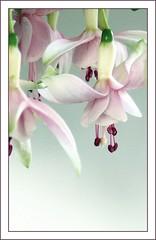Fuchsia Gracefulness - by melolou