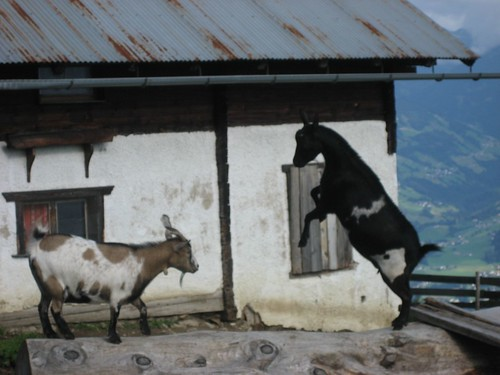 Butting goats