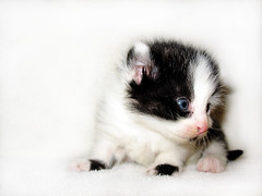Kitten Portrait (Larah McElroy) Tags: pictures cats cat photography photo kitten feline picture kitty kittens kitties felines mcelroy larah larahs larah88 larahmcelroy larahsphotography