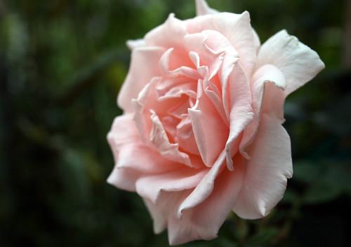 Breath of Life Rose