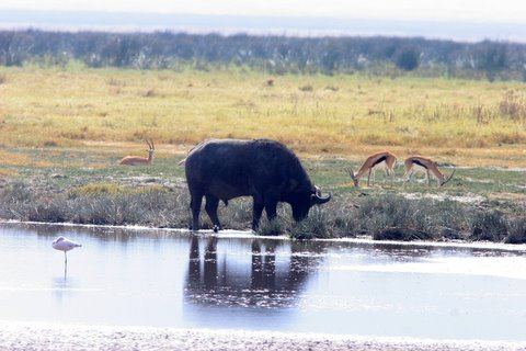 Buffalo with Thomson's Gazelles