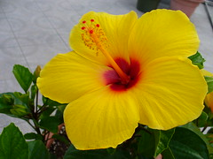 Hibiscus by pizzodisevo, on Flickr