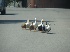 Ducks on parade