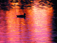 Duck Among Sunset Shadows (CountryDreaming) Tags: light shadow ohio abstract color reflection art water silhouette reflections duck pond colorful shadows searchthebest silhouettes ducks ripples ponds blueribbonwinner mywinners abigfave anawesomeshot flickrelite