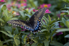 Spicebush Swallowtail (c.nemazie) Tags: pink flowers blue summer black flower color green nature floral leaves butterfly garden insect de us leaf flora unitedstates natural northamerica delaware zinnia wilmington spicebushswallowtail papiliotroilus yorklyn