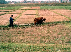 Plowing with a water buffalo (Mahdeenma) Tags: agriculture rurallife