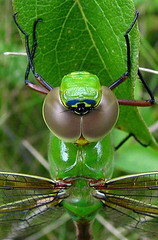 Macrodarner (squatchman) Tags: macro green nature wisconsin outdoors dragonflies oneofakind insects bugs naturescenes flyinginsects thenatureconservancy insectsandspiders insectsspiders wunderground anythingnature allthingsbeautifulinnature mywinners 10millionphotos insectphotography flickrdiamond amateurmacros macrophotosnolimits flickrinsects fortheloveofdragonflies dragonfliesofwisconsin dragonfliesinwisconsin sunshinedragonfly
