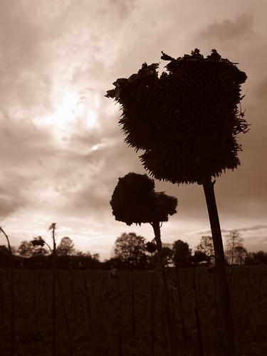 Die Sonnenblumenkönige sind tot