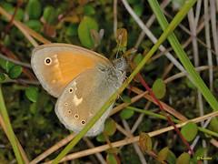 Strzępotek soplaczek Coenonympha tullia 2010.06.22 5240
