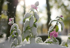 Flowers and snow (Helena Normark) Tags: autumn snow fall norway norge 5d trondheim srtrndelag canoneos5d explored 50l canonef50mmf12lusm ginordicfeb12