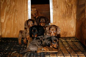 Puppies in a puppy mill