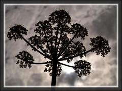 Heavenly silhouette (Kirsten M Lentoft) Tags: sky sun black flower silhouette topc25 soe momse2600 wowiekazowie diamondclassphotographer flickrdiamond kirstenmlentoft