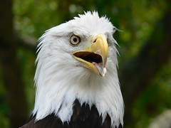 Say AHHHHH (Domesticated Diva) Tags: eagle tennessee explore american coolest oakridge naturesfinest goldaward blueribbonwinner supershot specanimal secretcityfestival supershots anawesomeshot superbmasterpiece