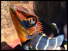 Changing colors! (swaheel) Tags: macro green nature colors garden lizard changing s2is chameleon coolest animalplanet canonpowershot naturesfinest outstandingshots anawesomeshot wowiekazowie calotescalotes