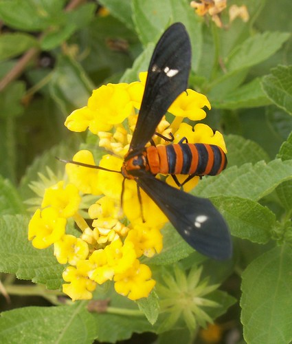 Yellow-banded Wasp Moth 4
