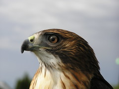 Captive Red-tailed Hawk2 (ravenintherain) Tags: birds raptors hawks