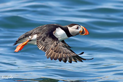 (#47) Puffin Taking Off (tinyfishy) Tags: bird flying inflight novascotia puffin birdisland naturesfinest diamondclassphotographer thatsclassy